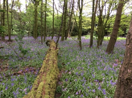 Bluebell woods 4 - 16052017 - TC