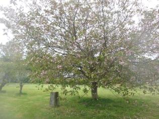 Cherry tree - 19052017