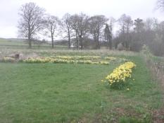 Daffodils in field - 13042017