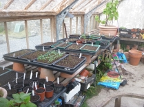 Glasshouse - seedlings 2 - 11052017