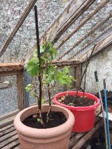 Grape vine - 27042017