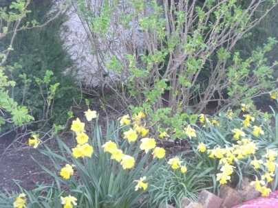 Rose garden - daffodils - 08042017