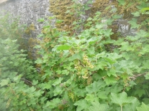 SWG - red currants - 19052017