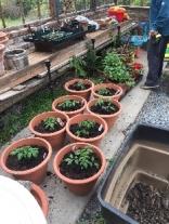 Tomato plants - 27042017
