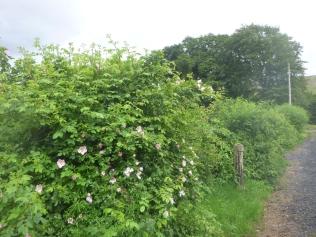 Hedge - 15062017