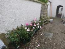 Roses for rose garden - 15062017