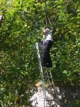 Pruning plum trees - 08102017