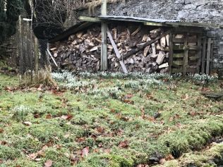 Snow drops - by wood store - 04022018