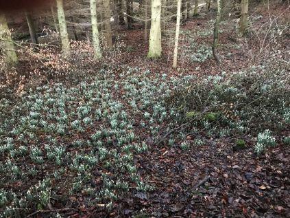 Snow drops - woods - 04022018