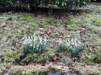 Snow Drops - yew avenue - 04022018