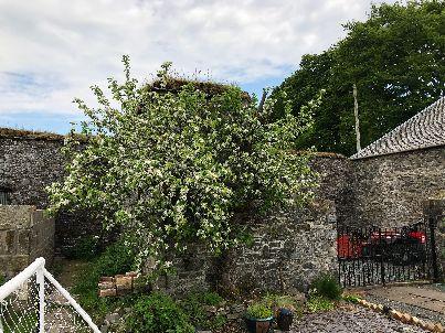 Apple blossom - 26052018