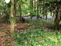 Bluebell woods 1 - 26052018
