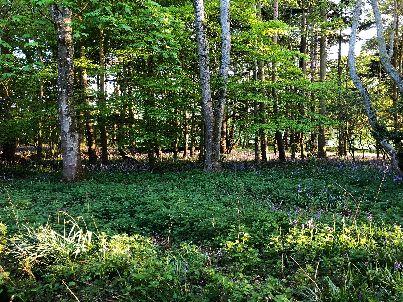 Bluebell woods - 16052018