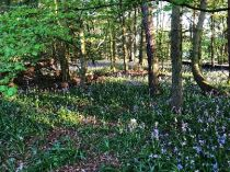 Bluebell woods 2- 16052018