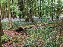 Bluebell woods 2 - 26052018