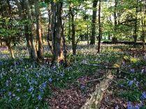 Bluebell woods 3 - 16052018