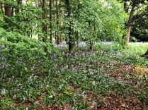 Bluebell woods 3 - 26052018