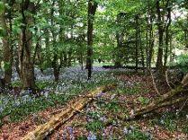 Bluebell woods 4 - 26052018