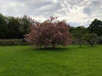 Cherry tree - 20052018