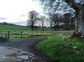 Daffodils 2 - 25042018