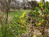 Daffodils 4 - 26042018