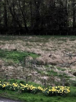 Daffs at front - 04052018