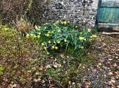 Daffs by disused door - 26042018