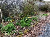 Daffs in herb border - 26042018