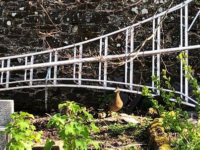 Ducklings 1 - 06052018