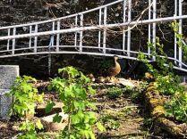 Ducklings 2 - 06052018