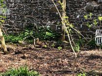 Ducklings 4 - 06052018