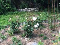 Flower garden roses 2- 27062018
