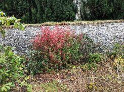 Flowering currant - 26042018