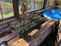 Glasshouse seedlings - 14042018