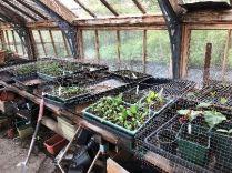 Glasshouse seedlings - 16052018