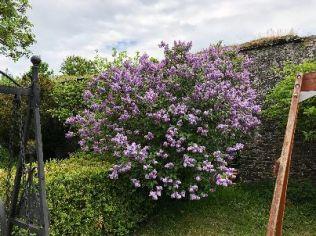 Lilac in flower garden - 26052018