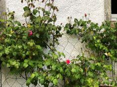 Pink rose - 01062018