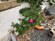 Pink rose - 26052018