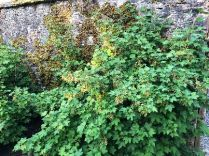 Red currants - 16052018