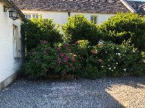 Rose garden - 06062018