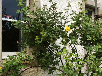 Yellow rose - 01062018