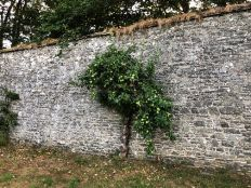 Apple tree on back wall - 17072018