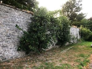 Apple trees on back wall - 17072018