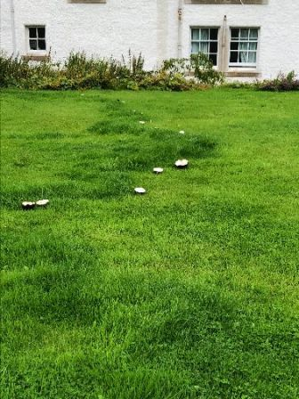Mushrooms on lawn - 13082018