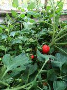 Tomatoes - 24072018