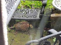 Baby pheasants 4 - 05062019