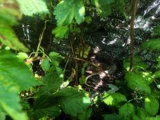 Blackbrid nest 2 - 29062019