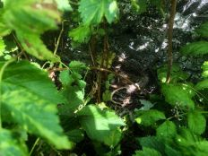 Blackbrid nest - 29062019
