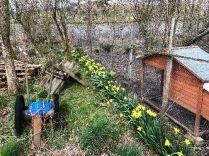 Daffodils in SWG - 30032019