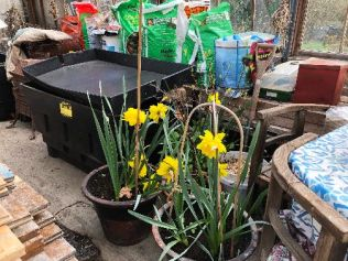 Daffs in glasshouse - 30032019
